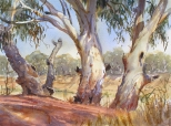 Darling River Gums, at Menindee Weir, NSW