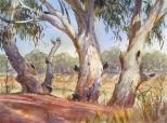 Darling River Gums, at Menindee Weir, NSW